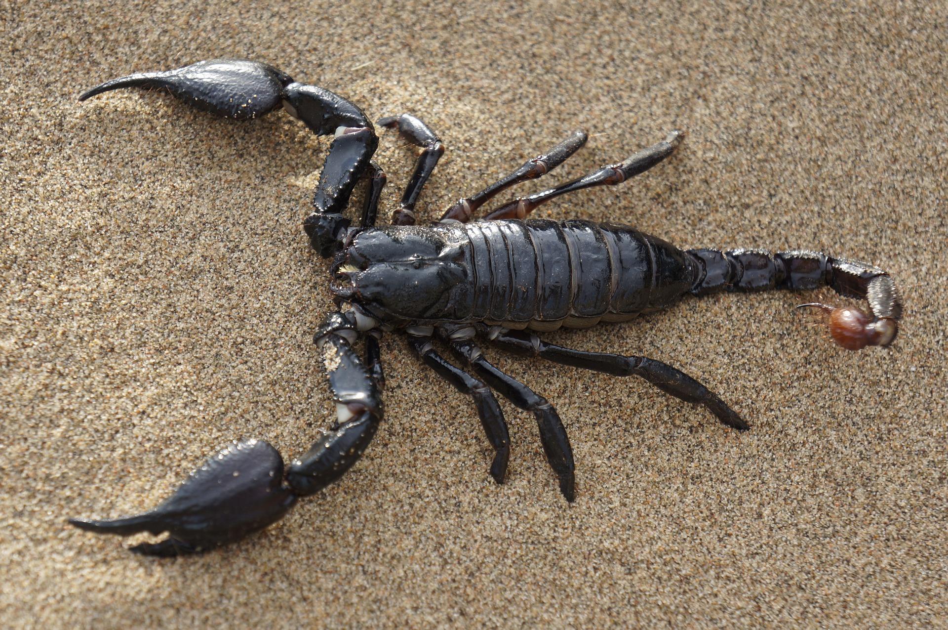 scorpion-651142_1920